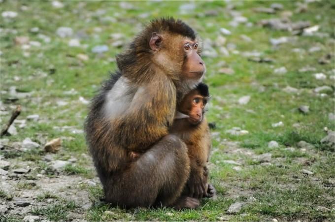 s-barbary-ape-384632_1280