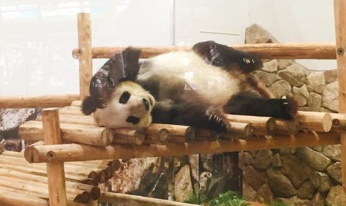 ジャイアントパンダ 永明