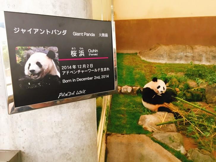 アドベンチャーワールドのパンダ 桜浜(おうひん)