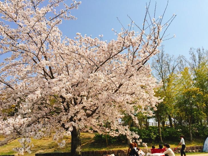 竹取公園の桜